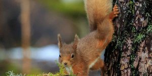 Scott Ward pic red squirrel 1